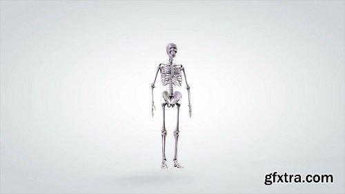 3d anatomical model human skeleton slowly rotating