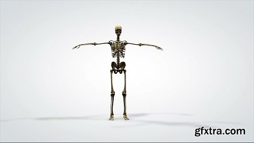3d anatomical model rotation human skeleton