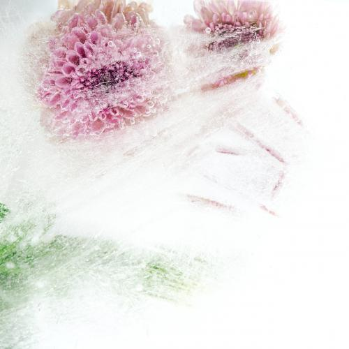 Beautiful pink chrysanthemum flowers and leaves frozen in ice with air bubbles - 2279935