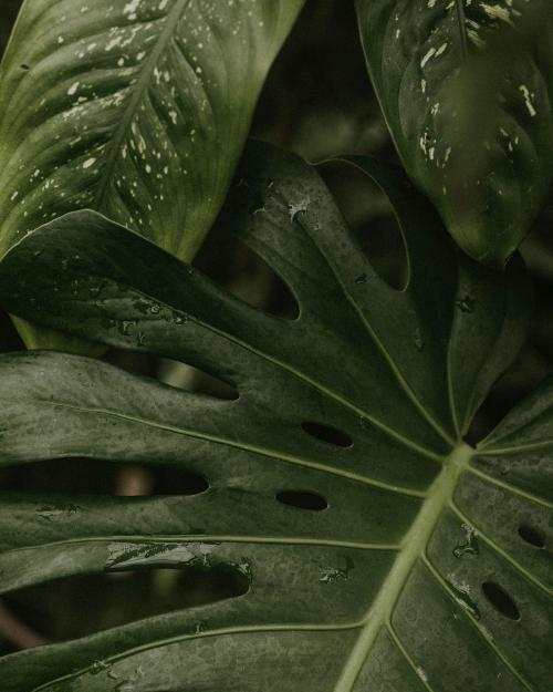 Close up of green split leaf philodendron - 598239